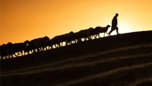 shepherd-sheep-ftr-1024x585